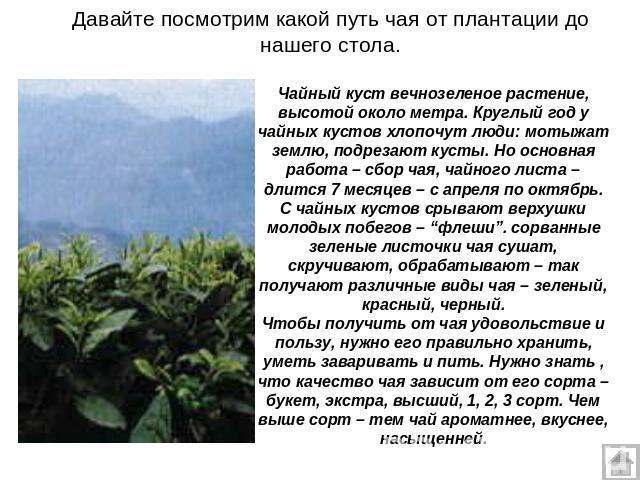 2014_04_05_08_014 подрезка и формовка шпалер чайных кустов на чайной плантации в дагомысском совхозе