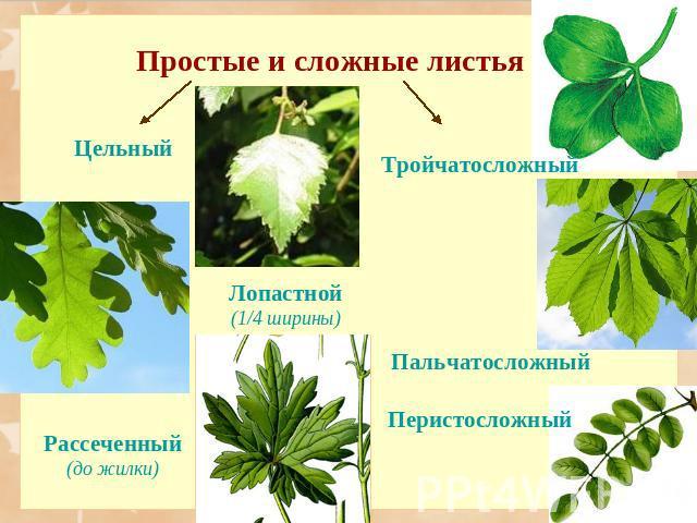 Простые листья и сложные листья картинки для 17