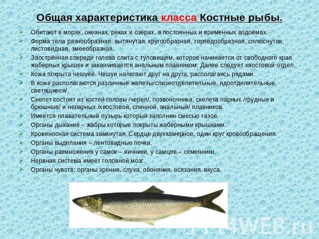 презентация класс рыбы хрящевые костные