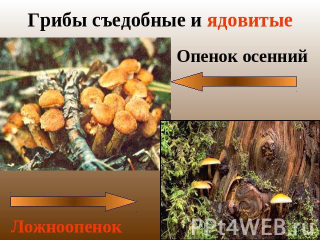 презентация грибы съедобные и ядовитые