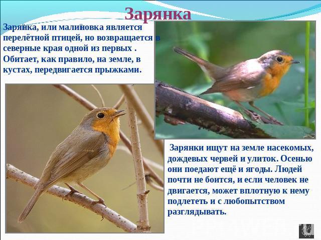Как выглядит птица зарянка