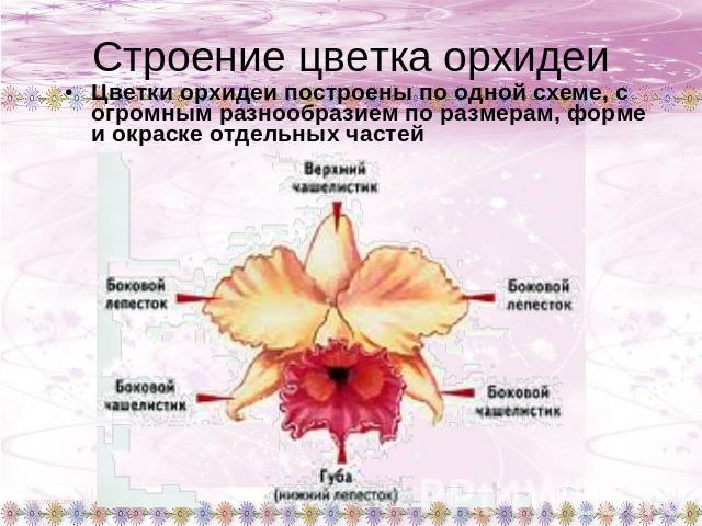 Строение цветка орхидеи Цветки
