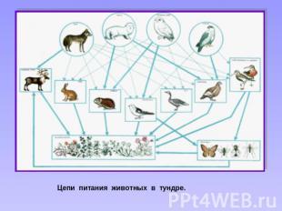 Цепи питания животных в тундре.
