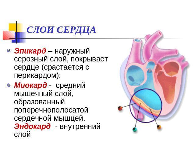 Эпикард