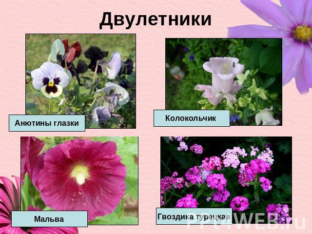 Цветы на дачу двулетники с