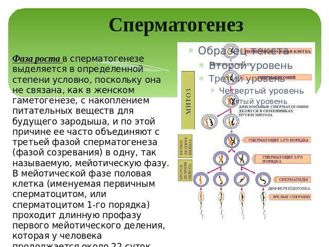 dlya-uvelicheniya-spermatogeneza