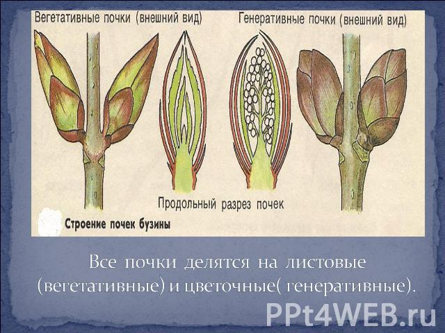 рисунок почки растения в разрезе