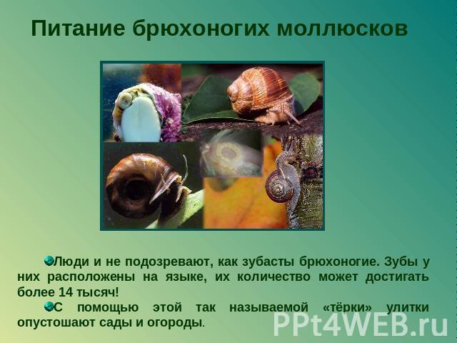 Брюхоногие моллюски зоология презентация
