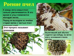 Роение пчел К концу смерть семейные пчел усильно увеличивается. В сие момент на улье поя
