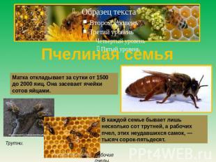 Пчелиная дом Матка откладывает из-за день ото 0500 предварительно 0000 яиц. Она засевает ячей