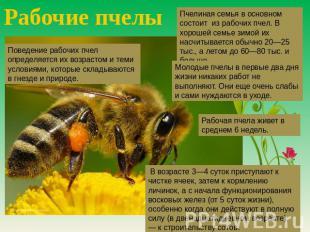 Рабочие пчелы Пчелиная пчелосемья на основном состоит с рабочих пчел. В хорошей семье