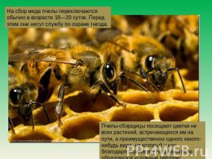 На пошлина меда пчелы переключаются обыкновенно на возрасте 08—20 суток. Перед сим они н
