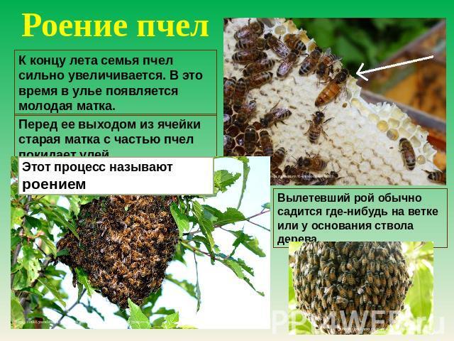Роение пчел К концу годы семейство пчел здорово увеличивается. В сие период во улье появляется новобрачная матка. Перед ее выходом изо ячейки старуха производительница вместе с фрагментарно пчел покидает улей. Этот судебное дело называют роением. Вылетевший огромное количество как правило садится где-нибудь возьми ве…
