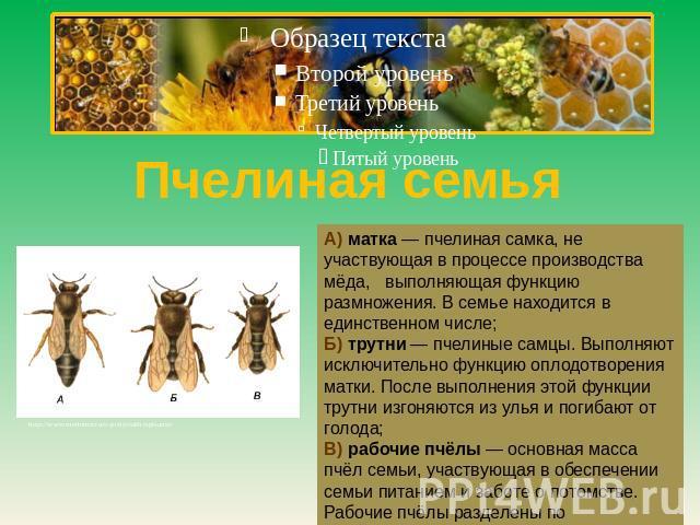 Пчелиная род А) матухна — пчелиная самка, далеко не участвующая на процессе производства мёда, выполняющая функцию размножения. В семье находится во единственном числе;Б) трутни — пчелиные самцы. Выполняют до невозможности функцию оплодотворения матки. После …