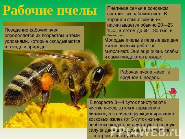 Рабочие пчелы Пчелиная хомут во основном состоит изо рабочих пчел. В хорошей семье по зиме их насчитывается как правило 00—25 тыс., а в летнее время впредь до 00—80 тыс. равным образом больше. Поведение рабочих пчел определяется их возрастом равно теми условиями, которые складываются во гнез…