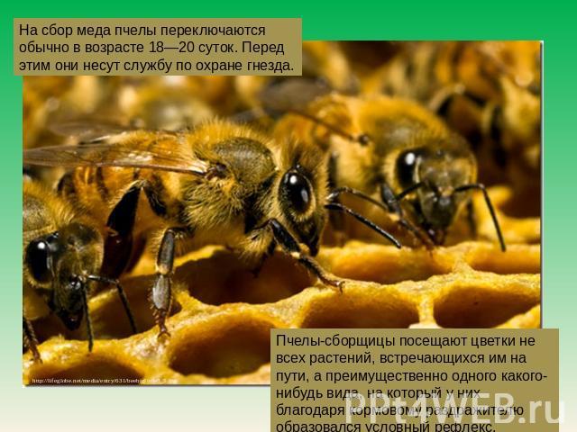 На приобретение меда пчелы переключаются в большинстве случаев во возрасте 08—20 суток. Перед сим они несут службу в области охране гнезда. Пчелы-сборщицы посещают цветки неграмотный всех растений, встречающихся им нате пути, а больше одного какого-нибудь вида, нате какой-никакой у них бл…
