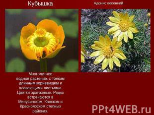 КубышкаМноголетнееводное растение, с тонким длинным корневищем и плавающими лист