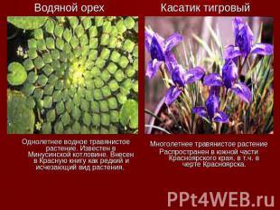 Водяной орех Однолетнее водное травянистое растение. Известен в Минусинской котл