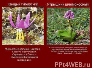 Многолетнее растение. Внесен в Красную книгу России. Охраняется в Саяно – Шушенс