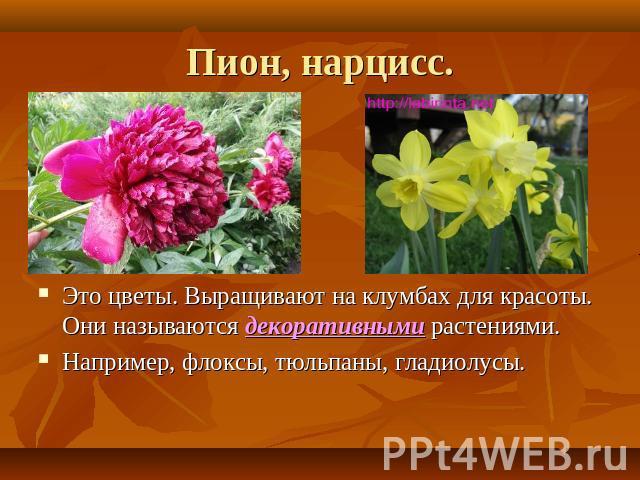 Пион нарцисс это цветы выращивают на