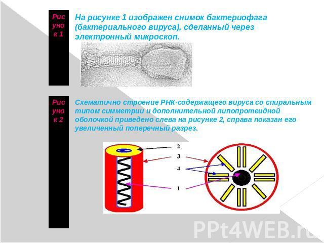 Что изображено на рисунке вирус бактерия