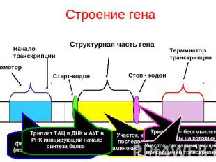 Повторить и обобщить учебный материал о строении гена и механизме реализации...