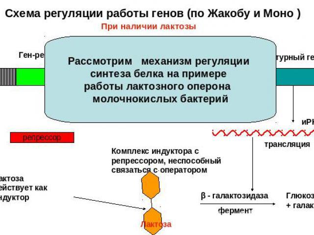 Схема регуляции работы генов