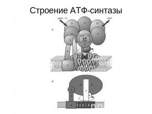 Строение АТФ-синтазы.