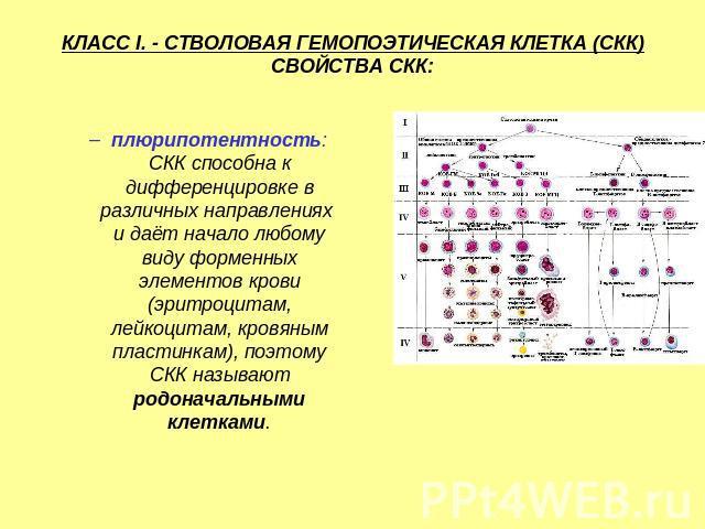 Клетка Кроветворная Стволовая фото