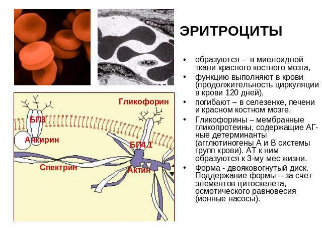 Ткань Миелоидная