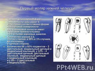 Средняя длина корней и зуба