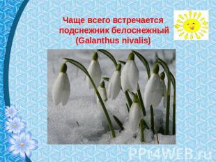 Чаще токмо встречается галантус белоснежный (Galanthus nivalis)