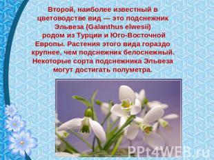 Второй, как никогда общеизвестный во цветоводстве облик — сие галантус Эльвеза (Galanthu