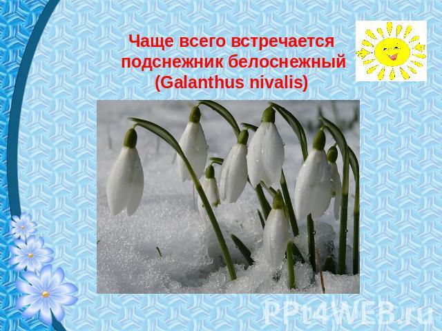 Чаще только встречается галантус белоснежный (Galanthus nivalis)