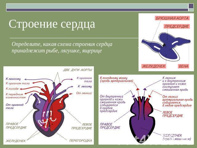 Строение сердца Определите