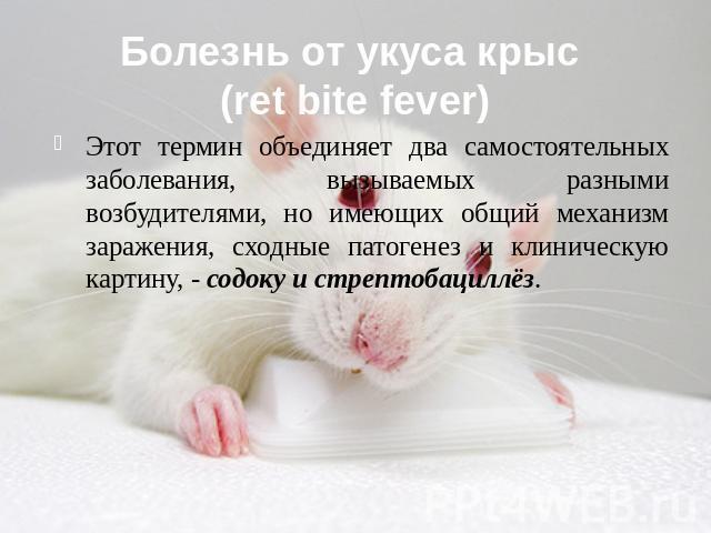 Лихорадка укуса крысы фото