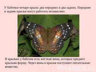 У бабочки четыре крыла: два передних и два задних. Передние и задние крылья могу