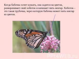 Когда бабочка хочет кушать, она садится на цветок, разворачивает свой хоботок и