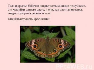 Тело и крылья бабочки покрыт мельчайшими чешуйками, эти чешуйки разного цвета, и
