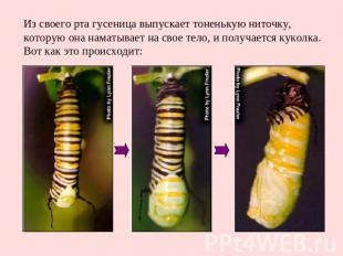Из своего рта гусеница выпускает тоненькую ниточку, которую она наматывает на св