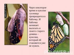 Через некоторое время в куколке гусеница превращается в бабочку. И бабочка начин