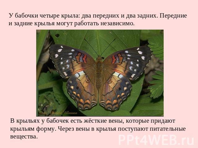 У бабочки четыре крыла: два передних и два задних. Передние и задние крылья могут работать независимо. В крыльях у бабочек есть жёсткие вены, которые придают крыльям форму. Через вены в крылья поступают питательные вещества.
