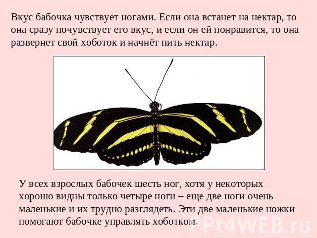 Вкус бабочка чувствует ногами. Если она встанет на нектар, то она сразу почувствует его вкус, и если он ей понравится, то она развернет свой хоботок и начнёт пить нектар. У всех взрослых бабочек шесть ног, хотя у некоторых хорошо видны только четыре…