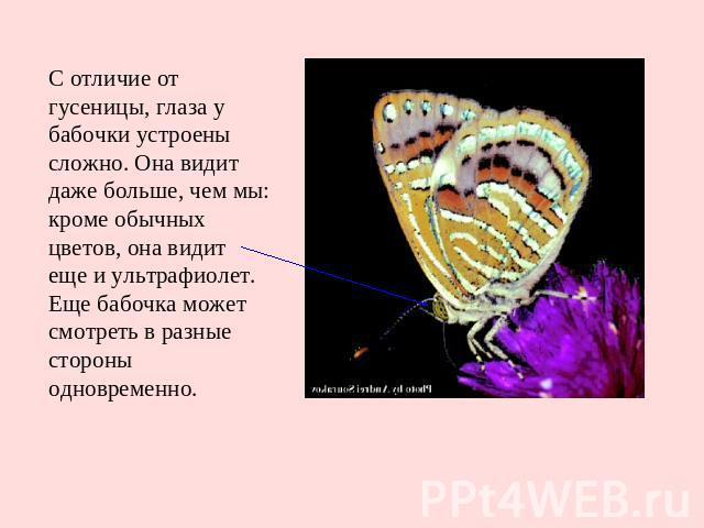 С отличие от гусеницы, глаза у бабочки устроены сложно. Она видит даже больше, чем мы: кроме обычных цветов, она видит еще и ультрафиолет. Еще бабочка может смотреть в разные стороны одновременно.