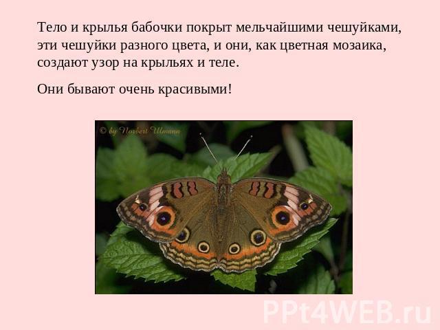 Тело и крылья бабочки покрыт мельчайшими чешуйками, эти чешуйки разного цвета, и они, как цветная мозаика, создают узор на крыльях и теле. Они бывают очень красивыми!