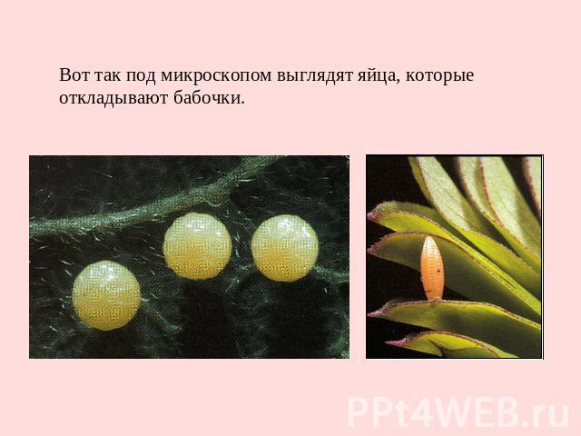 Вот так под микроскопом выглядят яйца, которые откладывают бабочки.