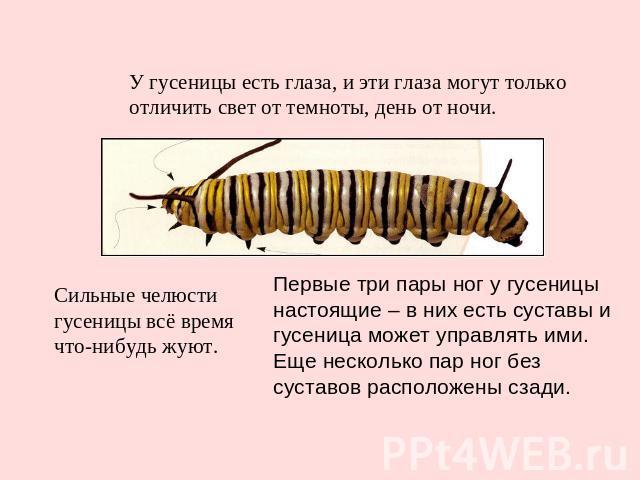 У гусеницы есть глаза, и эти глаза могут только отличить свет от темноты, день от ночи. Сильные челюсти гусеницы всё время что-нибудь жуют. Первые три пары ног у гусеницы настоящие – в них есть суставы и гусеница может управлять ими. Еще несколько п…