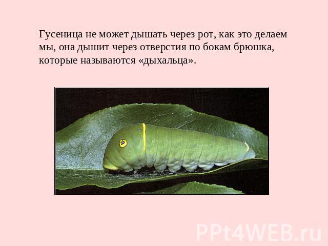 Гусеница не может дышать через рот, как это делаем мы, она дышит через отверстия по бокам брюшка, которые называются «дыхальца».