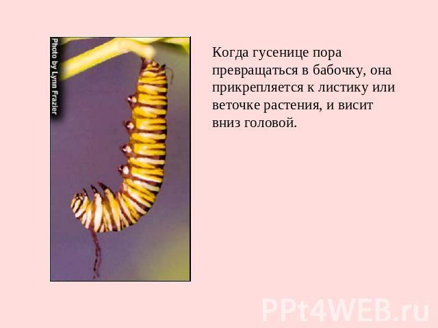 Когда гусенице пора превращаться в бабочку, она прикрепляется к листику или веточке растения, и висит вниз головой.