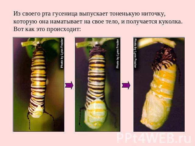 Из своего рта гусеница выпускает тоненькую ниточку, которую она наматывает на свое тело, и получается куколка. Вот как это происходит: